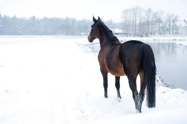 Vilde heste skal passe naturen
