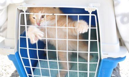 Fem indfangniger af vilde katte