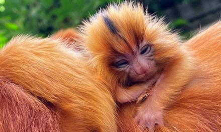 Sensationel tvillingefødsel i Randers Regnskov