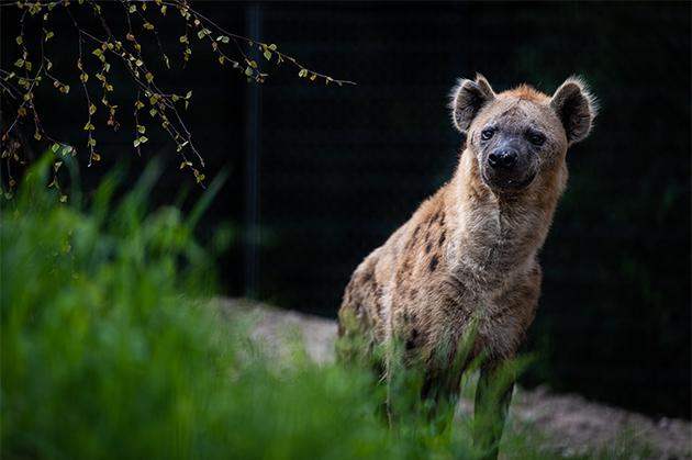 Fascinerende hyæner sluppet løs i naturtro landskab