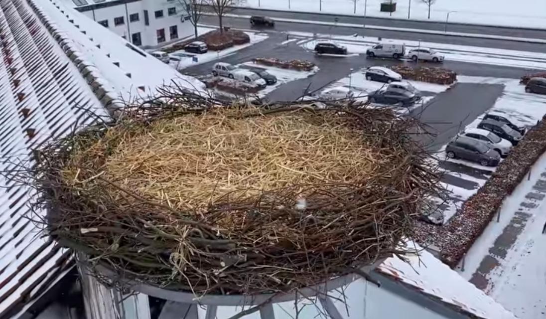 Stor stigning i storkebestand giver håb om ynglende storkepar i Randers